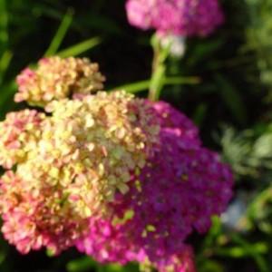 achillea-summer-pastels