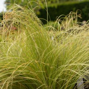 Carex Comans Frosted Curls 01