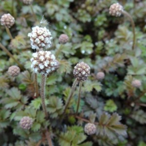 aceana microphylla aangepast