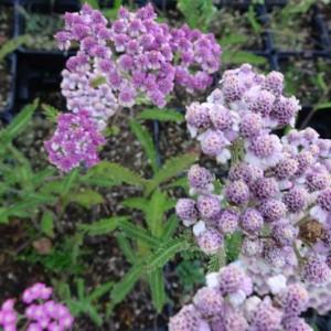 achillea mil. lilac beauty aangepast