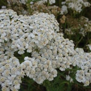 achillea-mil-white-beauty-aangepast
