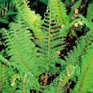 polystichum-setiferum-proliferum