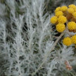 helichrysum-italicum-aangepast